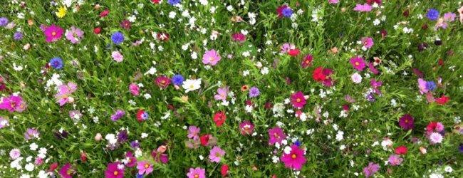 Blumenwiese in Oberstaufen