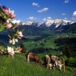Allguer Idylle: Die Sommerweiden - die Heimat der hellbraunen Khe - sind dem Menschen eine grne Oase.