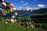 Allgäuer Idylle: Die Sommerweiden - die Heimat der hellbraunen Kühe - sind dem Menschen eine grüne Oase.