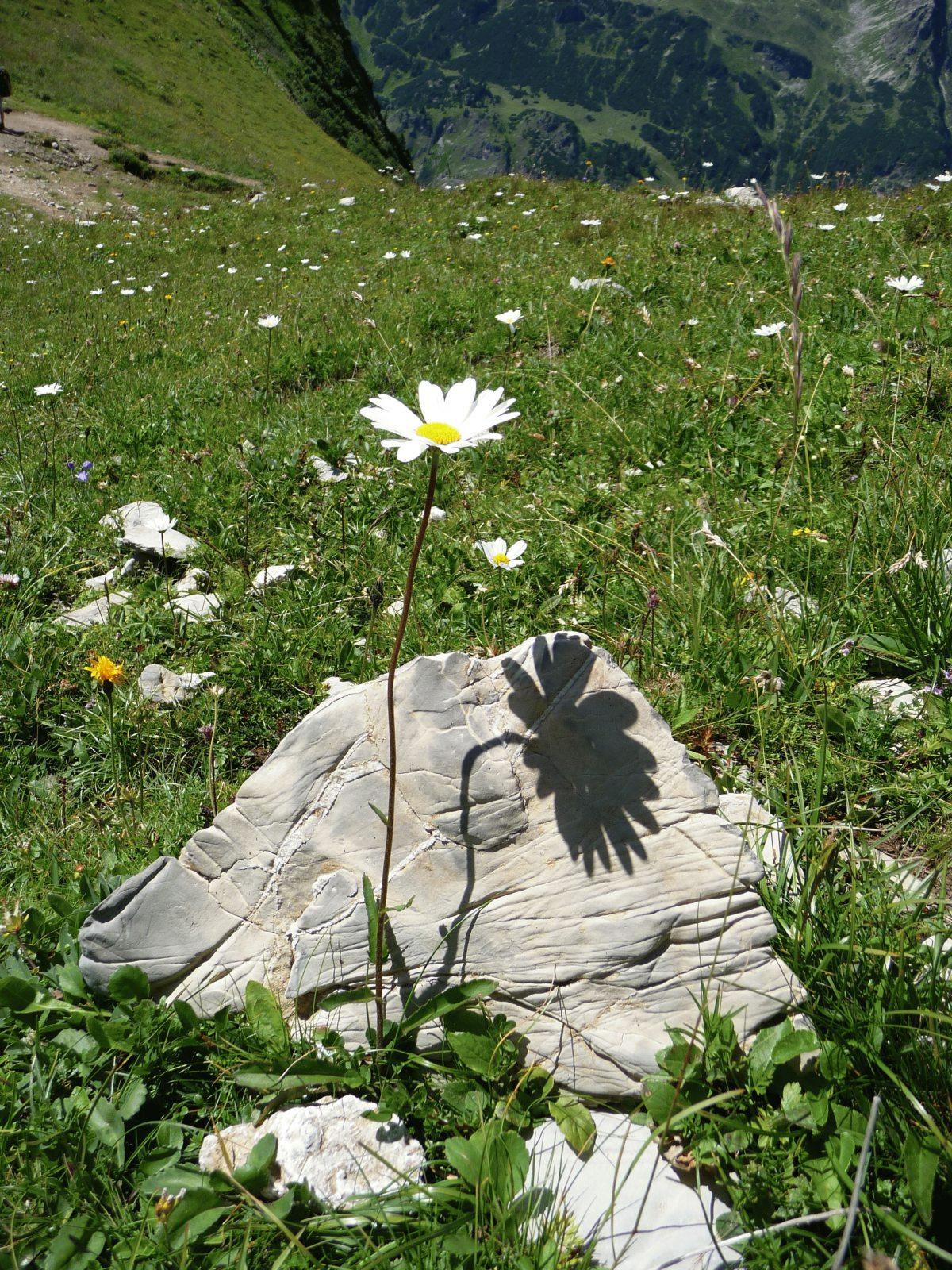 Schattenblume