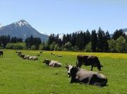 Kühe mit Bergblick