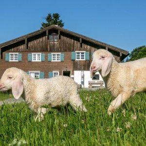 Bergbauern Schafe030