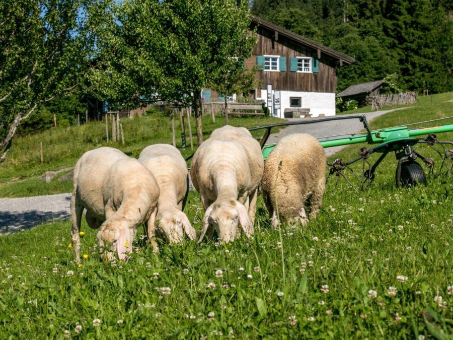Bergbauern Schafe120