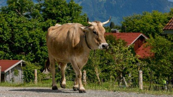 Allgaeuer-bergbauernmuseum-diepolz-kuehe