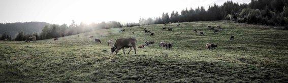 Kühe im Morgenlicht