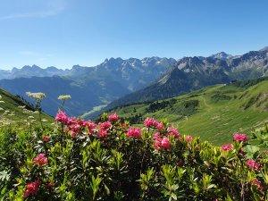 Alpenrosenblüte Fellhorn