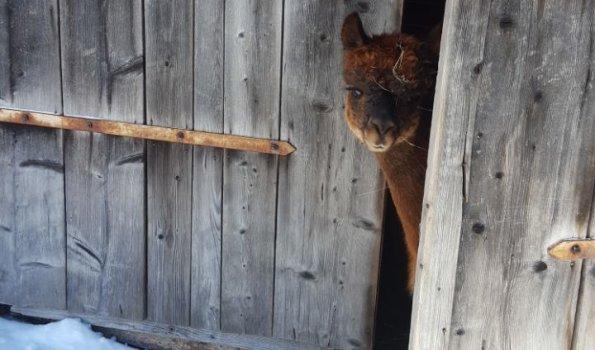Alpaka schaut aus Scheunentor