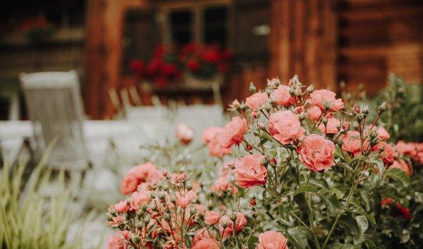 Rosen vor der Alpe