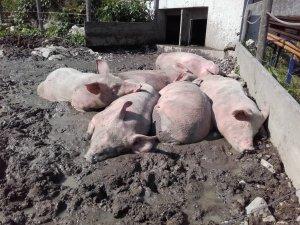 Schweine draussen