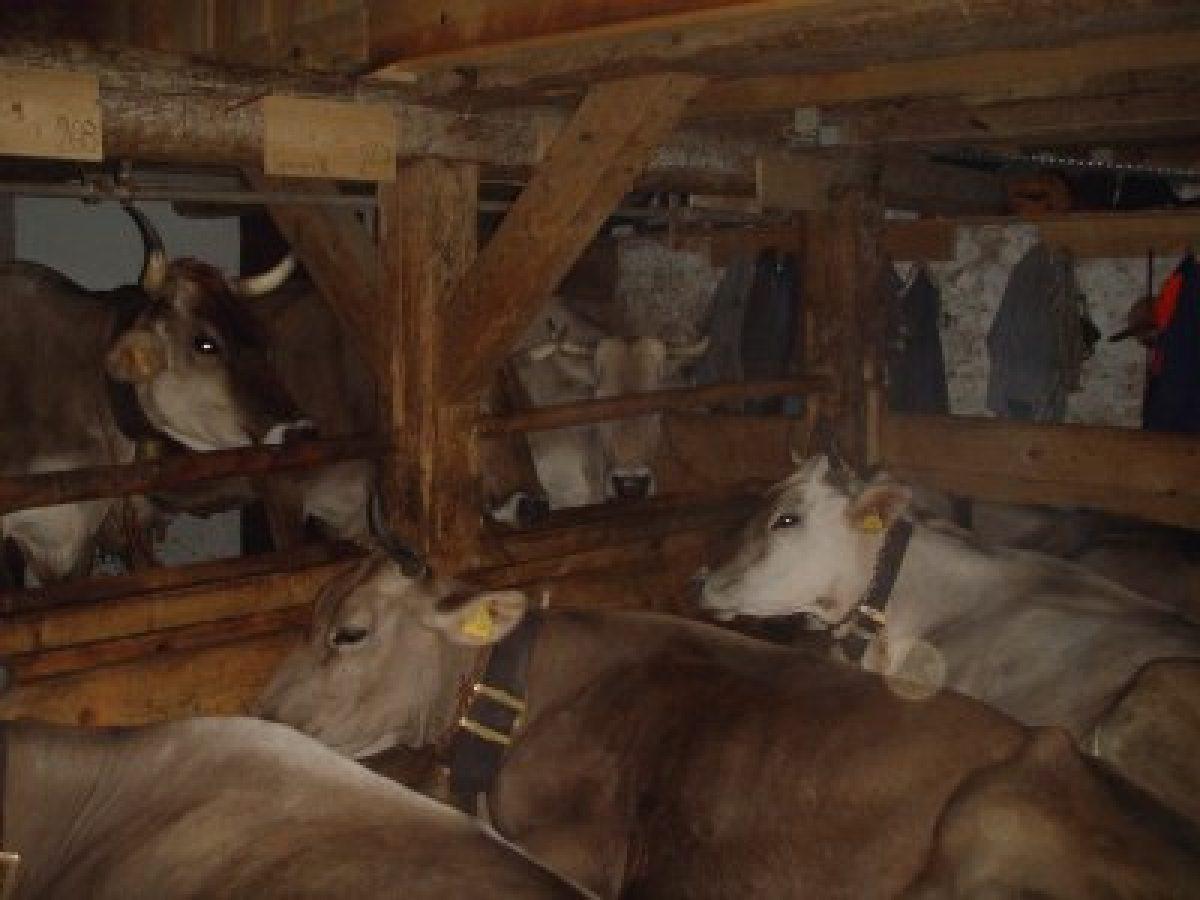 Kühe im Stall - Pause vor dem Melken
