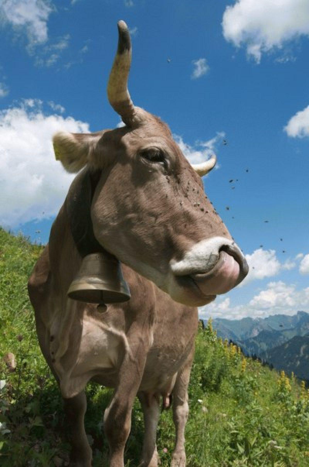 Kuh genießt das Panorama