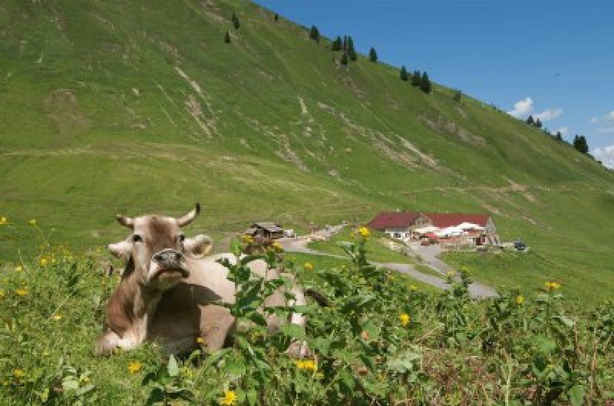 Kuh vor Alpe Schlappold in Oberstdorf