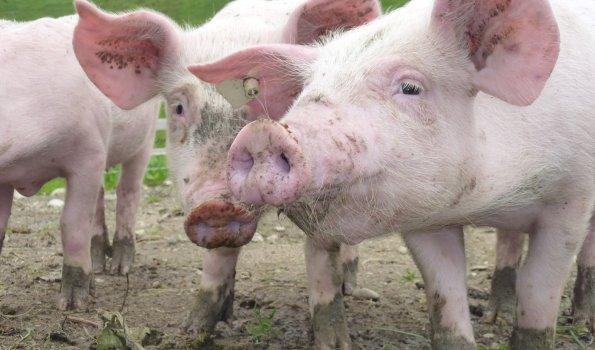 ... glückliche Alpschweine