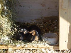 Schlappold kleine Hasen