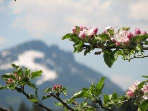 Apfelblüte in der Rubinger Oy