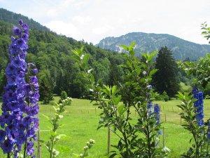 Rittersporn mit Schattenberg