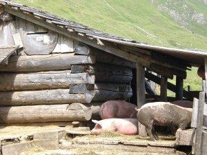 Schweine auf einer Sennalpe