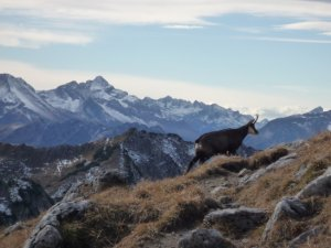 Gems auf dem Nebelhorn