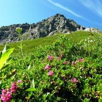 Warmatsgundkopf Alpenrosen