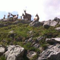 Steinböcke am Mindelheimer Klettersteig