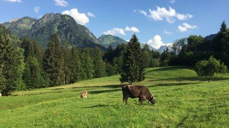 Kühe im Glück