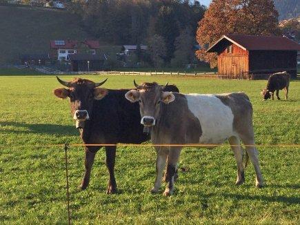 Glückliche Kühe in Oberstdorf