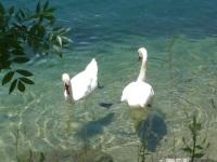 Schwäne im See