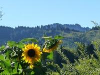 Sonnenblume - Blick zum Sorgschrofen