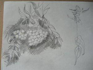 Bleistiftzeichnung vogelbeeren