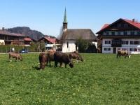 Kuhweide in Oberstdorf