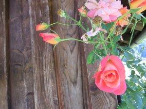 wunderschöne Rosen