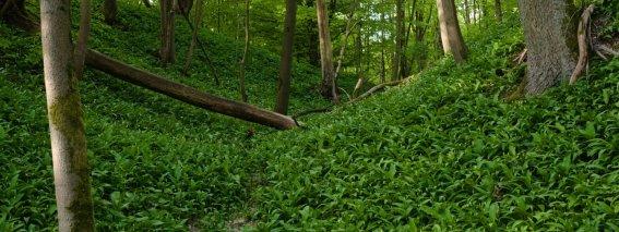 Bärlauch im Frühlings Wald