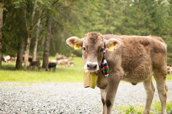 Viehscheid - Das Jungvieh sammelt sich im Stillachtahl