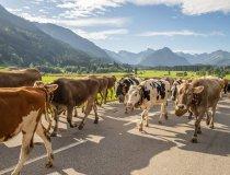 Viehscheid Schöllang und Rubi-041