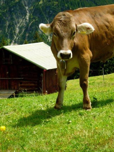Kuh an der Bühlalpe