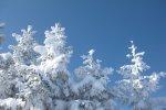 verschneite Tannen