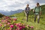 Alpenrosenpracht am Fellhorn