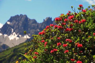 Alpenrosen am Fellhorn