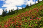 farbenfroher Alpenrosen-Teppich
