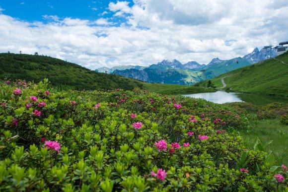 Alpenrosen am Schlappoldsee