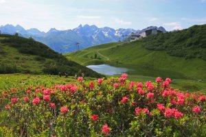 Alpenrosenblüte am Schlappoldsee