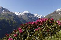 Panorama mit Alpenrosen im Ötztal