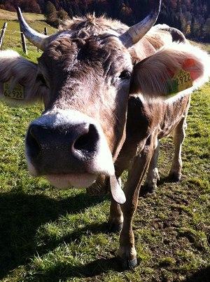Kuh im Sonnenschein
