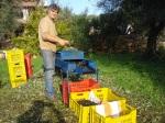 Olivenernte auf dem Landgut