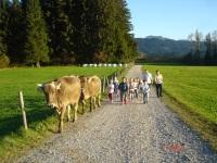beim Kühe eintreiben....