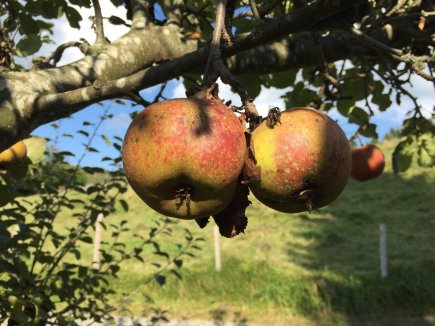 Apfelbaum im Spätsommer