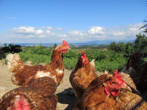 Glückliche Hennen