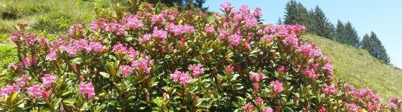 Alpenrosenblüte in den Bergen