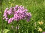 Alpenblumen: Filziger Alpendost