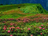 Alpenrosenblüten-Pracht bestaunen - mit Bergbahn inklusive: So oft Sie möchten...